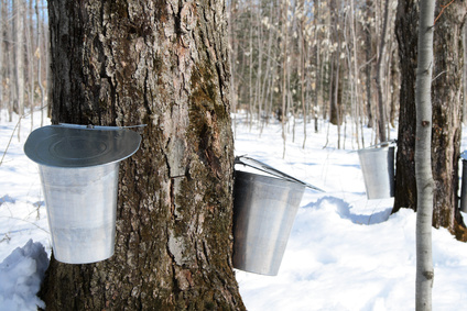 Maple Syrup Production: Quebec Is Losing Ground